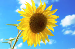 Sunflower on a background sky Royalty Free Stock Photo