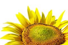 Sunflower on background sky Stock Photo