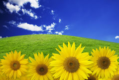 Sunflower on background sky. With grass field Royalty Free Stock Photography