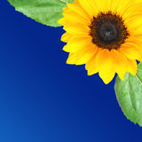 Sunflower background with space for text Stock Photography