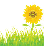 Sunflower background,vector Stock Photography