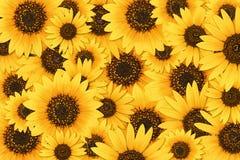 Sunflower background. Wild sunflower blossom background pattern Stock Photos