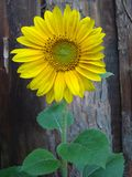 Sunflower on the background of a wooden fence. royalty free stock photo