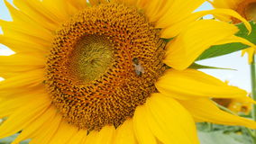 Sunflower. For backgrounds and textures Royalty Free Stock Photo