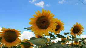 Sunflower. For backgrounds and textures Royalty Free Stock Images