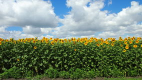 Sunflower. For backgrounds and textures Royalty Free Stock Photos