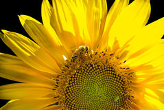 Sunflower backlit with bee pollination on a black background Stock Photos