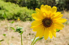 Sunflower Backlit by the Sun Royalty Free Stock Images