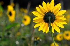 Sunflower, backside, frontlit, Helianthus annus Stock Image