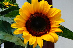 Sunflower. On Balcony is blooming in summer stock photography