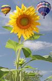 Sunflower and Balloons. Vertical image of sunflower in foreground with two balloons in background Stock Images