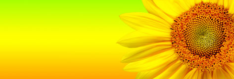Sunflower banner royalty free illustration