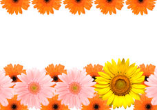 Sunflower and Barberton daisy frame Royalty Free Stock Photography