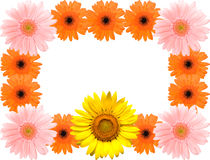 Sunflower and Barberton daisy frame Stock Image