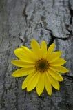 Sunflower on bark Stock Images