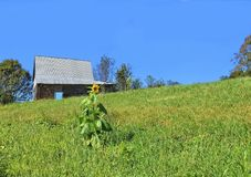 Sunflower and Barn. The last sunflower in a pasture at the end of summer stock photo