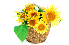 Sunflower in the basket. On white background Stock Photo