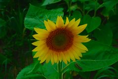 A Sunflower Bathes in the Sunlight Royalty Free Stock Photography