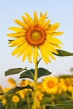 Sunflower with beautiful background. Yellow sunflower against a beautiful background Royalty Free Stock Photo