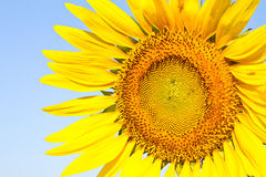 Sunflower with beautiful background. Yellow sunflower against a beautiful background royalty free stock photos