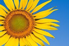 Sunflower with beautiful background. Yellow sunflower against a beautiful background stock images