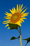 Sunflower with beautiful background. Yellow sunflower against a beautiful background Stock Photos