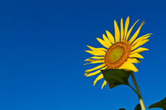 Sunflower with beautiful background. Yellow sunflower against a beautiful background Royalty Free Stock Images