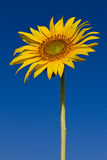 Sunflower with beautiful background. Yellow sunflower against a beautiful background royalty free stock photography