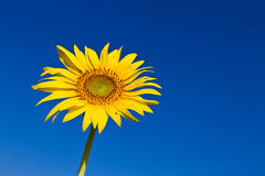 Sunflower with beautiful background. Yellow sunflower against a beautiful background stock image
