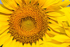 Sunflower with beautiful background. Royalty Free Stock Photography