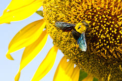 Sunflower with beautiful background. Royalty Free Stock Images