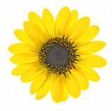 Sunflower. Beautiful backlit sunflower isolated on white Royalty Free Stock Photo