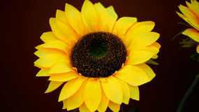 Sunflower. Beautiful sunflower blooming on the field and take photo by colse up,portrial royalty free stock photography