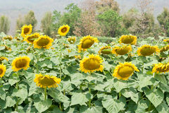 Sunflower. Beautiful blossom sunflower in the cultivated field Royalty Free Stock Image