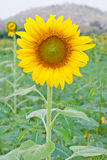 Sunflower. Beautiful blossom sunflower in cultivated field with mountain background Stock Photos