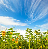 Sunflower and beautiful blue sky Stock Images