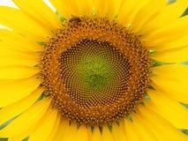 Sunflower. Beautiful Sunflower close-up wallpaper background Stock Photos