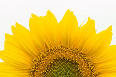 Sunflower. Royalty Free Stock Image