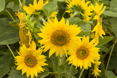 Sunflower. Stock Image