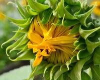 Sunflower. Beautiful sunflower in the field Stock Image