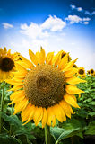 Sunflower. Beautiful Sunflower and field of sunflower Royalty Free Stock Photography
