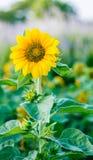 Sunflower. A beautiful sunflower field blur background Stock Photography