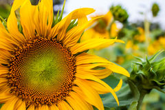 Sunflower. A beautiful sunflower field,Thailand Stock Photography