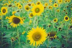 Sunflower. Beautiful on fields summer stock photography