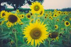 Sunflower. Beautiful on fields summer royalty free stock photos
