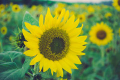 Sunflower. Beautiful on fields summer royalty free stock photography