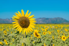 Sunflower. Is a beautiful flower in nature Stock Image