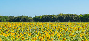 Sunflower. Is a beautiful flower in nature Stock Photography