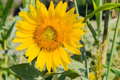 Sunflower. Is a beautiful flower in nature Stock Images