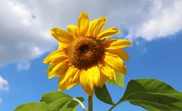 Sunflower beautiful flower yellow and green in background during summer in Michigan royalty free stock photography